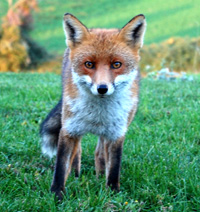 fox in tuscany enchanting cottage
