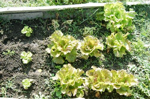 the organic salads of the villa