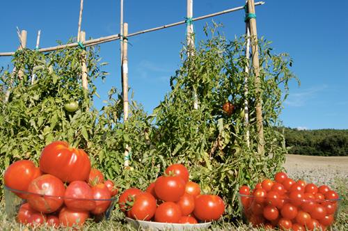 organic-tomatoes of tuscan villa