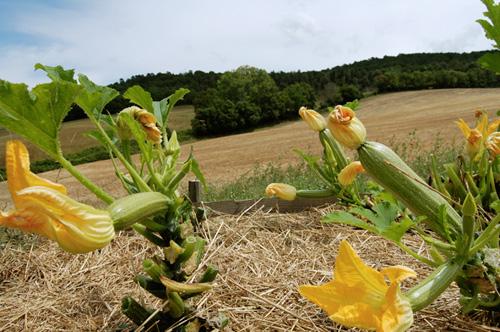 the organic zucchini of the villa