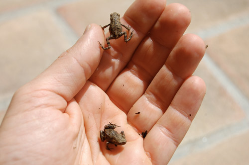 Small frogs in Tuscany Villa in Tuscany