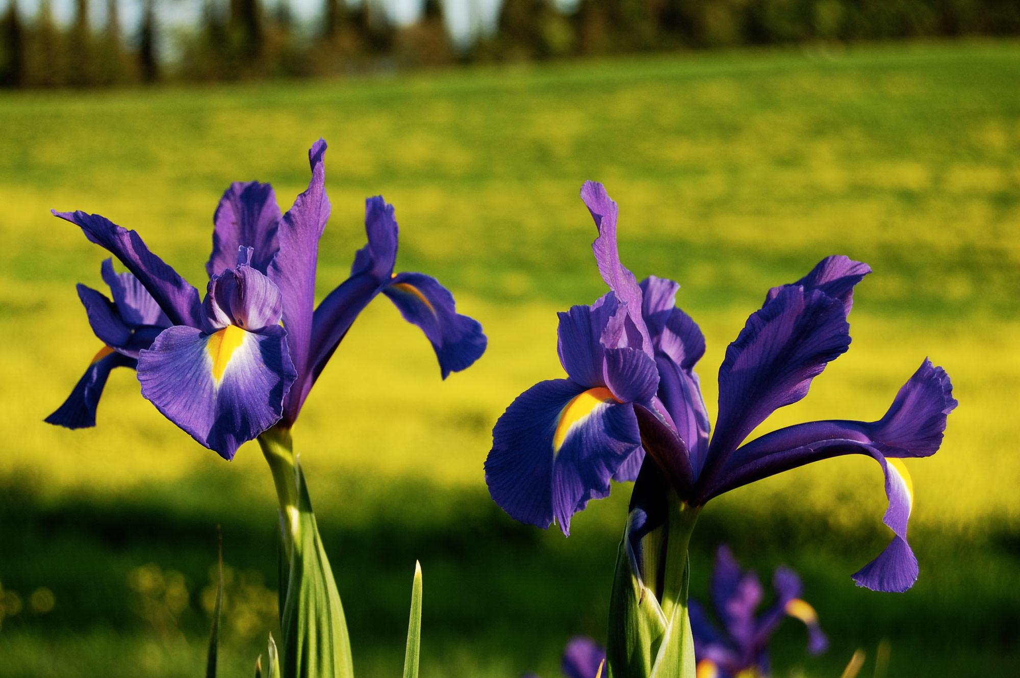 tuscany villa iris